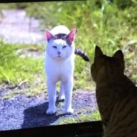 岩合光昭の世界ネコ歩き、を見る猫