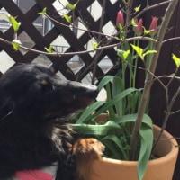 チューリップ咲いたよ