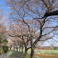 今年の桜も8分咲き見頃はもう直ぐ