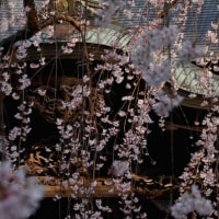 栄福寺の枝垂れ桜(千葉市)