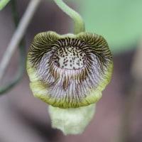 4月の花 オオバウマノスズクサ 4