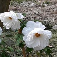 長居植物園の花 2017.4.27