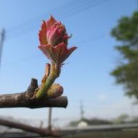 ブドウ 芽