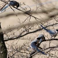 オナガ, Azure-winged Magpie