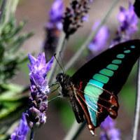 花と蝶はアゲハ