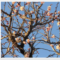 連日零下なのに 芝桜満開とは