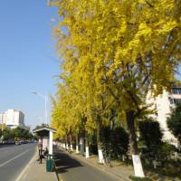 蘇州 桐涇北路の銀杏並木