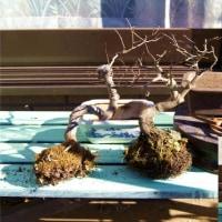 小物盆栽の植え替え