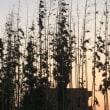シェア畑だより 夕焼けとカラスウリの花💙