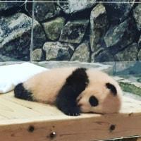 可愛すぎる赤ちゃんパンダ、結浜のひとり遊び