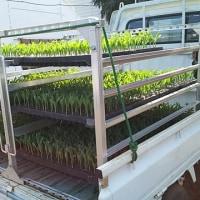トウモロコシ定植2017(5回目)