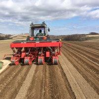 赤豌豆の播種作業