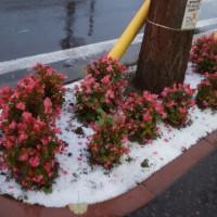 夕方4.7度、そして花に初雪