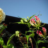 バラのイクセクローン・スペリオンとグロリオーサ