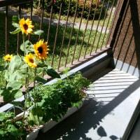 6月6日(火)のつぶやき★梅雨の近い季節にあじさいが咲き始めた便り、ベランダのヒマワリの鉢をこちら側に回してみる!★