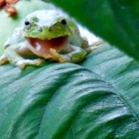 蛙のあくび