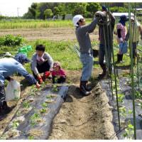 枝豆植付けと夏野菜ネット張り