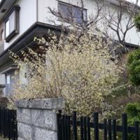 一関市東山町「柴宿団地」のヒュウガミズキ(日向水木) 2017年4月22日(土)記事のタイトルを入力してください(必須)