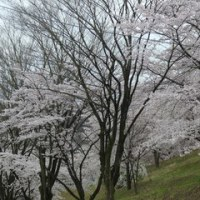 団地に咲いた桜