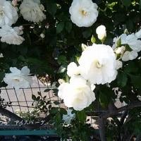 日本大学生物資源科学部のバラ園のバラが満開でした