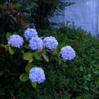 涼しげな色合いの花々