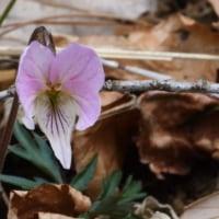 狭山丘陵に春が来た 咲いた、咲いたカタクリ咲いたスミレも咲いた