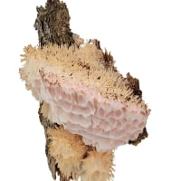 Aporpium strigosum
