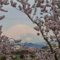 25/Mar 朝陽と富士山と桜とカワセミ