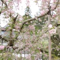 雨情枝垂れ桜