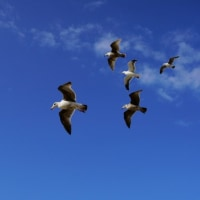 クロアシアホウドリ・モントレー湾/Black-footed albatross ・Gulf of monterey