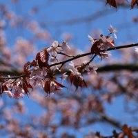 山桜、いいよね!