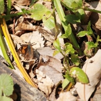シジミチョウ 2種 / 越冬明けのチョウ 3種 / ハナアブ 3種