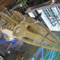 クジラの骨格