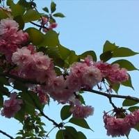 八重桜も駆け込みで…。