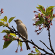 新潟の野鳥 ニュウナイスズメ