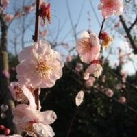 梅は咲いたが桜はまだか