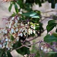 季節の花   アセビ