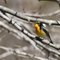 キビタキ, Narcissus Flycatcher
