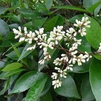 季節の花「鼠黐 (ねずみもち)」