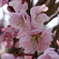 3月19日、裏高尾散策~花の香りに癒されて