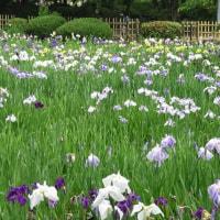 楽書き雑記「ハナショウブが見ごろに。今年は期待できそう=名古屋の鶴舞公園」