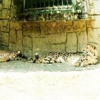 多摩動物公園、チーター