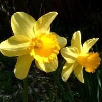 風を欲る揺れに揺れたる黄水仙   等
