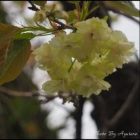 緑の桜「御衣黄」