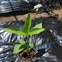 夏野菜を植え付けました。