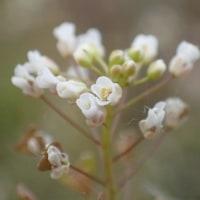 江尾公園の自然:不明:もうナズナの花が咲いています。