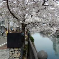 桜祭りの大岡川沿いに行ってきました!