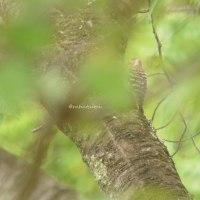 筑波山梅林の紫陽花