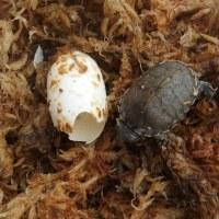 カブトニオイガメ 孵化