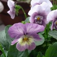 紫のビオラの鉢